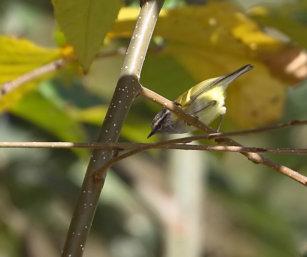 Grey-hooded Warbler