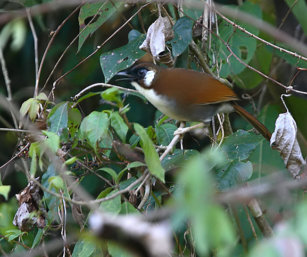Grey-sided Laughing Thrush