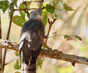 Indian Hawk Cuckoo