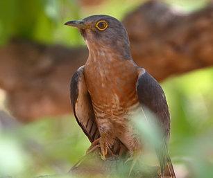 hawk cuckoo