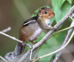 Jungle squirrel