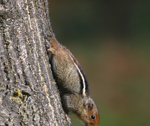 Jungle Striped Squirrel