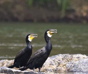 Large Cormorant