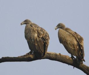 Long Billed Vulture