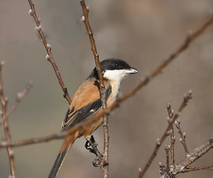 Long-Tailed Tricolor