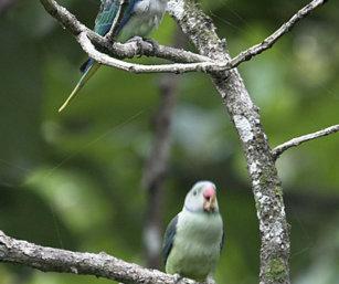 Malabr Parakeet