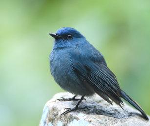 Nilgiri Flycatcher