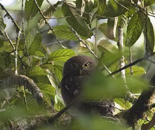 Owl (ID)