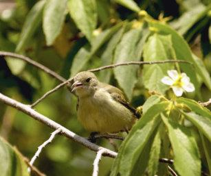 Pale-Billed Flowerpecker