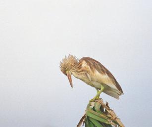 Purple Heron Chick