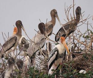 Painted Stork Chicks