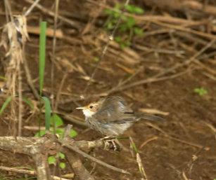 Puff-Throated Babbler