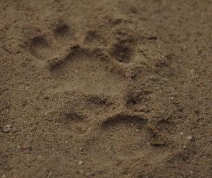 Tiger Pug mark