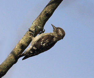 Pygmy Woodpecker