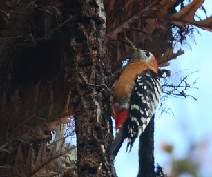 Rufous-breasted Woodpecker