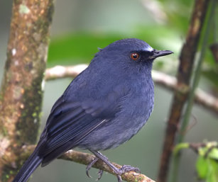 White-bellied Shortwing