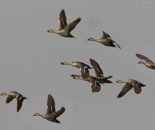 Spot-billed Duck
