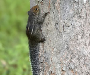 Jungle Striped Squirrel