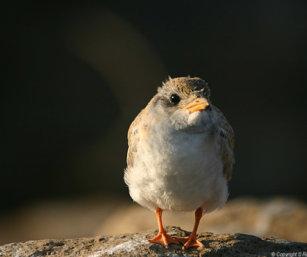 River Tern chick