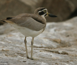 Thick Knee