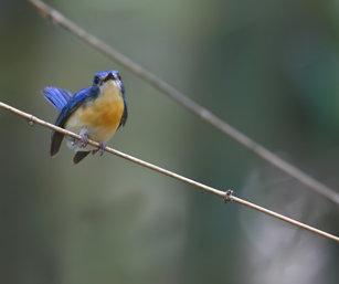 tickell flycatcher
