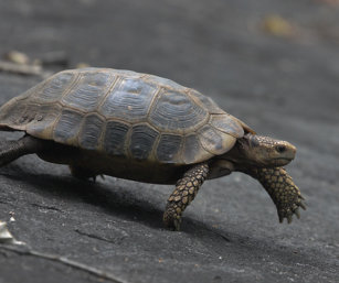 Travancore Tortoise