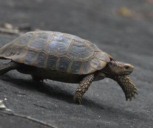 Travancore Tortoise