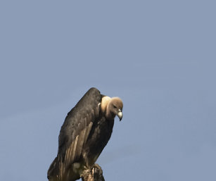 White-Naped Vulture