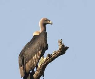 White-Naped Vulture