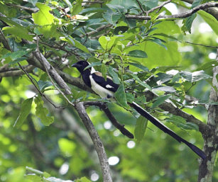 White-Bellied Treepie