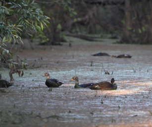 White-winged (wood)Duck