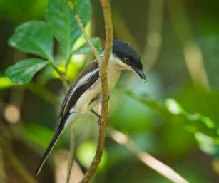 Bar-winged Flycatcher Shrike
