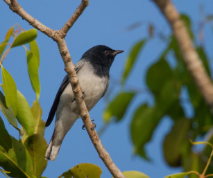 Black-headed Cuckoo-Shrike