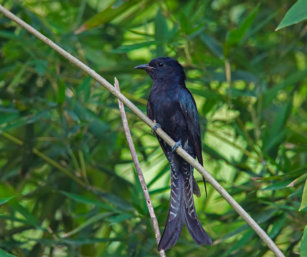 Fork-tailed' Drongo-cuckoo