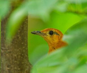Orange-headed Ground Thrush