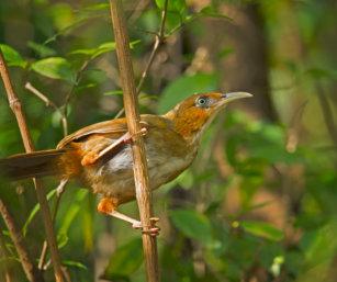 Rusty-cheecked Scimitar Babbler