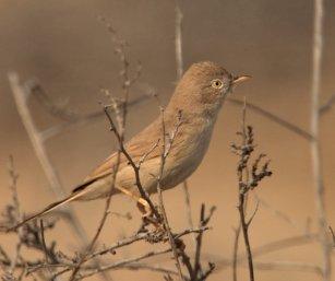 Desert Warbler