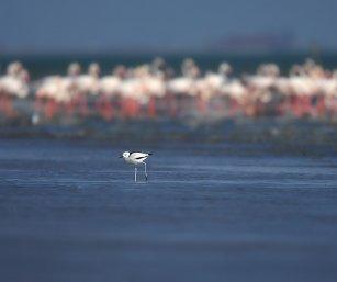 Crab Plover + Flamingos