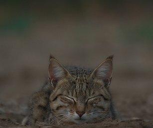 Desert Cat