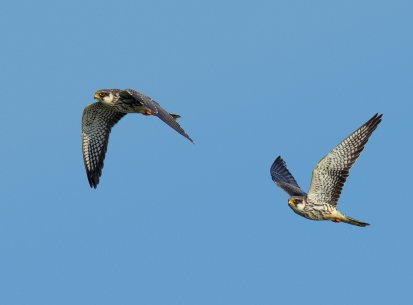 Amur Falcons, Doyang, Nov 2105
