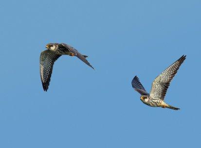Amur Falcons, Doyang, Nov 2105